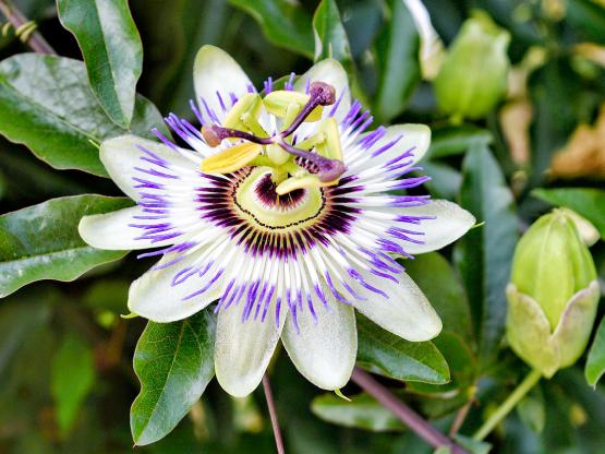 Passiflora-1